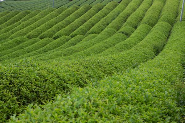 Teefelder3