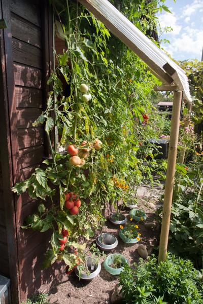 Fast perfekte Tomaten nach den Ferien, 29.8.2012